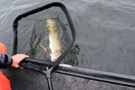Большой Slit Shad – крупная рыба!