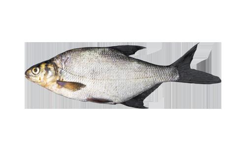 рыба семейства карповых