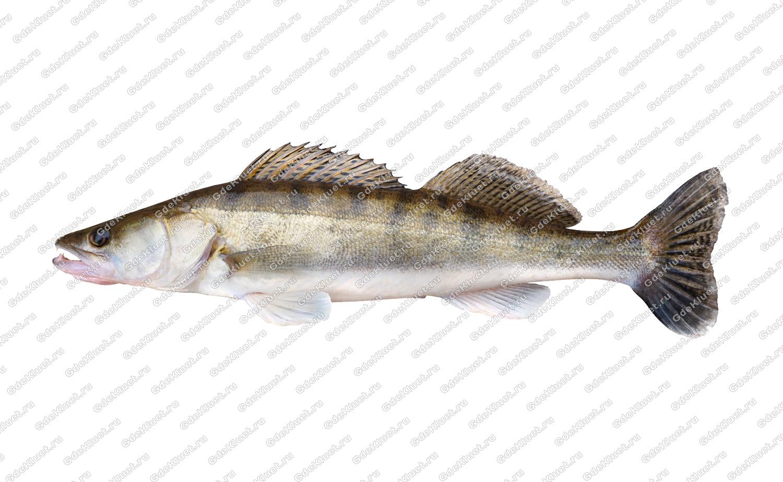 Судак — Cправочник рыболова. Осман Рыба