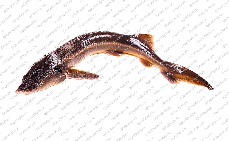 Бестер — Cправочник рыболова. Осман Рыба
