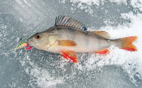 рыбалка манула